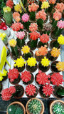 Pots with small blooming cacti .succulent plants. Red and yellow cactus on the market Stock Photos