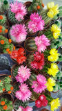 Pots with small blooming cacti .succulent plants. Red and yellow cactus on the market Stock Images