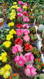 Pots with small blooming cacti .succulent plants. Red and yellow cactus on the market Royalty Free Stock Photo