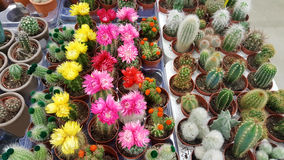 Pots with small blooming cacti .succulent plants. Red and yellow cactus on the market Royalty Free Stock Photography