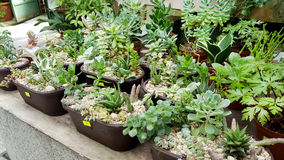 Pots with small green cacti .succulent plants Royalty Free Stock Image