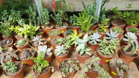 Pots with small green cacti .succulent plants Stock Photo