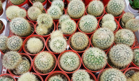 Pots with small green cacti .succulent plants Royalty Free Stock Photography