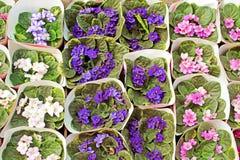 Pots of violets Stock Image