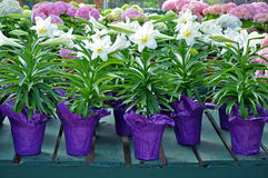 Pots of white easter lilies. Pots of beautiful white easter lily flowers Royalty Free Stock Photography