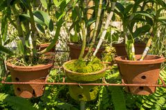 Pots with young orchid flowers at the beautiful tropical garden. In Maldives Stock Image