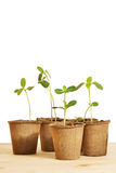 Pots with young seedlings isolated over white Stock Photo