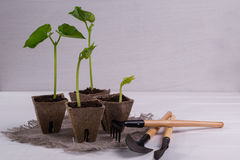 Pots with young seedlings  and little garden tools Stock Image