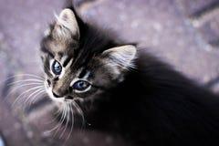 pott kattungen ser upp, kattungen med blåa ögon, katt Royaltyfri Fotografi