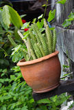 Potted кактус Стоковые Изображения RF