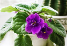 Potted African Violet and cactus. Potted African Violet (Saintpaulia) on the background of cactus, houseplants Stock Photography