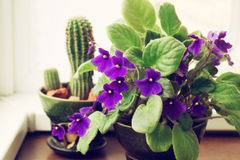 Potted African Violet and cactus Royalty Free Stock Photos