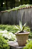 Potted Aloe plant Royalty Free Stock Images