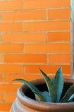 Potted Aloe. Aloe pot against a brick wall Stock Photo