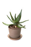 Potted aloe vera plant Stock Images