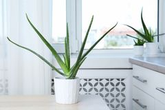 Potted aloe vera plant and space for text. On blurred background royalty free stock photos