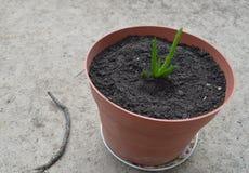 Potted Aloe Vera Royalty Free Stock Photo
