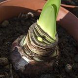 Potted amaryllis bulb close up Stock Photo