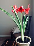 Potted Amaryllis. Indoor potted plant - red amaryllis bulbs royalty free stock photography