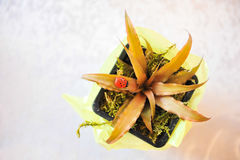 Potted baby plant wedding testimony Royalty Free Stock Photo