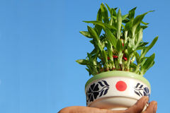 Potted bamboo plant Stock Photos