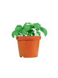 Potted Basil Stock Images