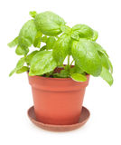 Potted Basil Stock Photography