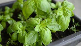 Potted basil, close-up. Leaves of intense green color, with drops of dew. Selective focus on the foreground of the lush leaves of basil stock video footage