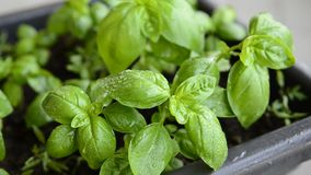 Potted basil, close-up. Leaves of intense green color, with drops of dew, are caressed by the male hand of a Caucasian man stock video