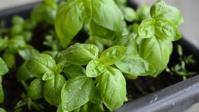 Potted basil, close-up. Leaves of intense green color, with drops of dew, move slightly moved by the wind stock video footage