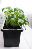 Potted basil indoors Stock Photos