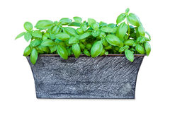 Potted basil isolated on white background. Potted fresh basil plant isolated on white background Royalty Free Stock Image