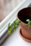Potted Basil Plant Royalty Free Stock Photos