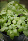 A Potted Basil Plant royalty free stock images