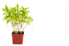 Potted Basil plant with isolated background, flushed left.  stock photography
