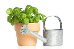 Potted basil plant and watering can Royalty Free Stock Image
