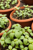 Potted Basil Plants Stock Image