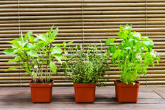 Potted Basil, Thyme and Parsley plant Royalty Free Stock Photo