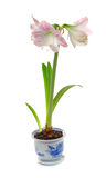 Potted blooming amaryllis Stock Image
