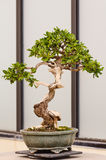 Potted Bonsai Tree Stock Image