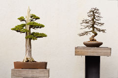 Potted Bonsai Tree Royalty Free Stock Images