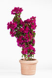 Potted bougainvillea glabra, paperflower against white background Stock Images