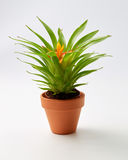 Potted Bromelia Plant Stock Image