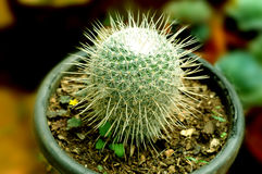 Potted cacti. Camera shot on potted cacti Stock Photo
