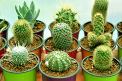 Potted cacti plant. Camera shot on potted cacti plant Royalty Free Stock Image