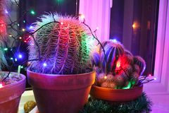 Potted cacti on windowsill decorated with Christmas lights. Potted spiky cacti in a window sill decorated with funky colored Christmas lights stock images