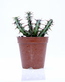 Potted cactus Royalty Free Stock Image