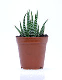 Potted cactus. Isolated over white background Stock Photo