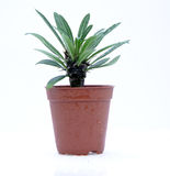Potted cactus. Isolated over white background Stock Photography