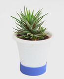 Potted cactus Royalty Free Stock Photos